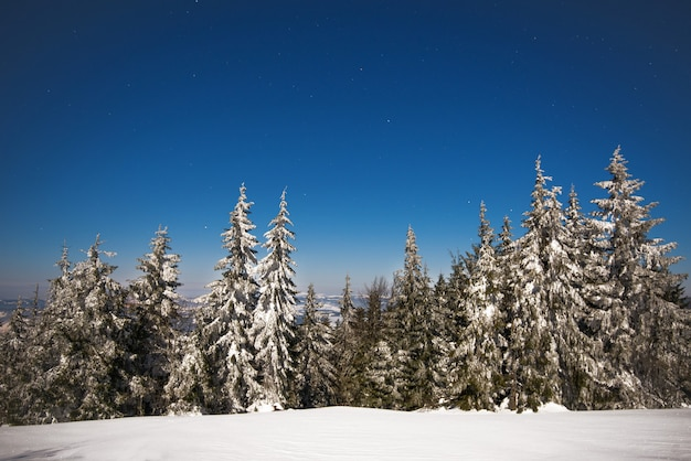 Bela paisagem com majestosos pinheiros altos crescendo entre nevascas brancas contra o céu azul em um dia ensolarado de inverno gelado. conceito de trekking e férias ecológicas. espaço de publicidade