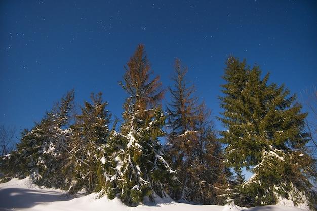 Bela paisagem com pinheiros altos e majestosos
