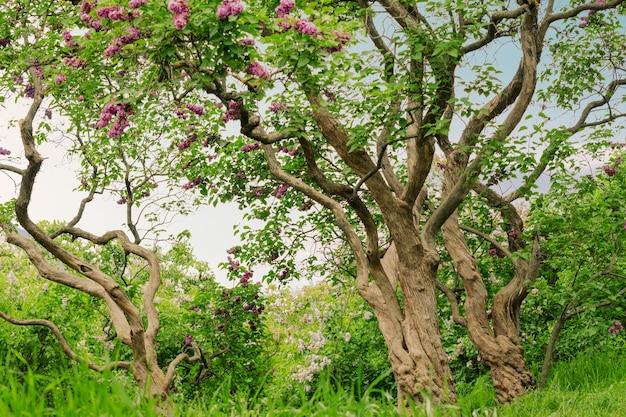 Bela paisagem com uma velha árvore lilás desabrochando nas árvores lilases do jardim sob os fortes raios de sol