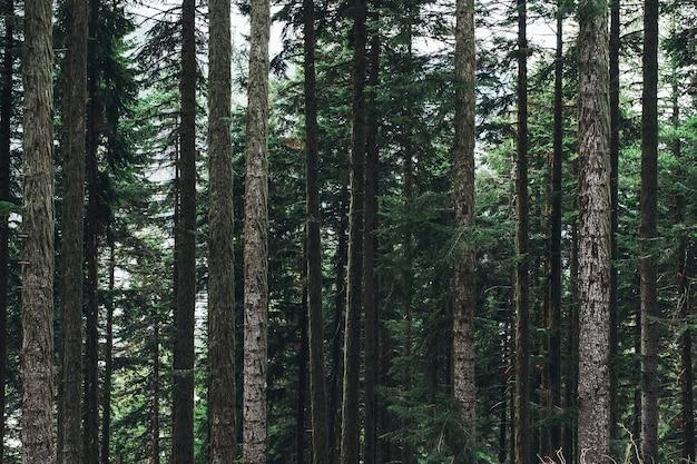 Bela paisagem com vapores de pinheiros de montanha, coníferas. força, potência, verticalidade, estável, estável, antigo, conceito