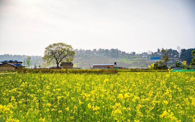 Bela paisagem da fazenda de mostarda da primavera em kathmandu nepal
