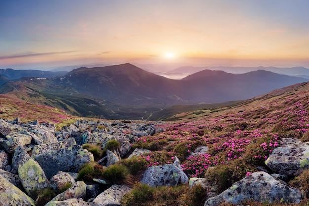Bela paisagem da montanha dos cárpatos, com flores desabrochando rododendro ao nascer do sol