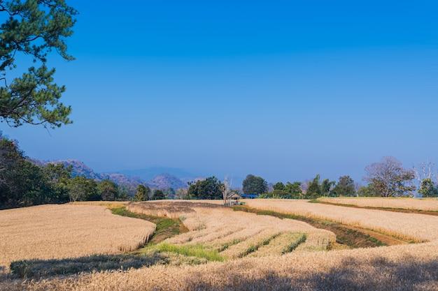 Bela paisagem de campos de trigo dourado com fundo natural à luz do dia