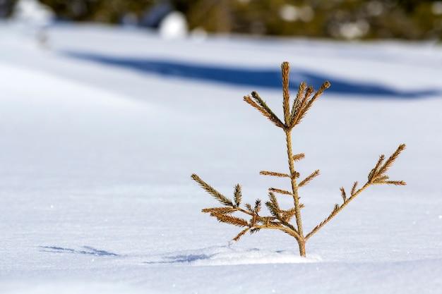 Bela paisagem de inverno de natal. abeto de árvore de abeto concurso verde jovem pequeno crescendo sozinho na neve profunda na encosta da montanha em um dia gelado ensolarado no fundo do espaço de cópia branco brilhante.