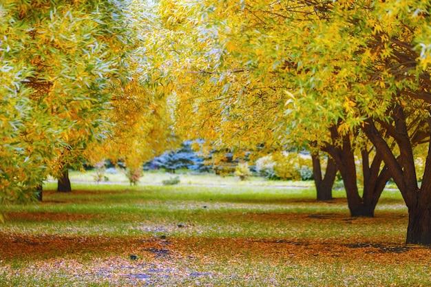 Bela paisagem de outono com salgueiro de árvores amarelas e luz solar.