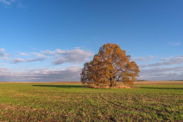 Bela paisagem de outono com vista para um carvalho com folhagem amarela em um campo verde pela manhã