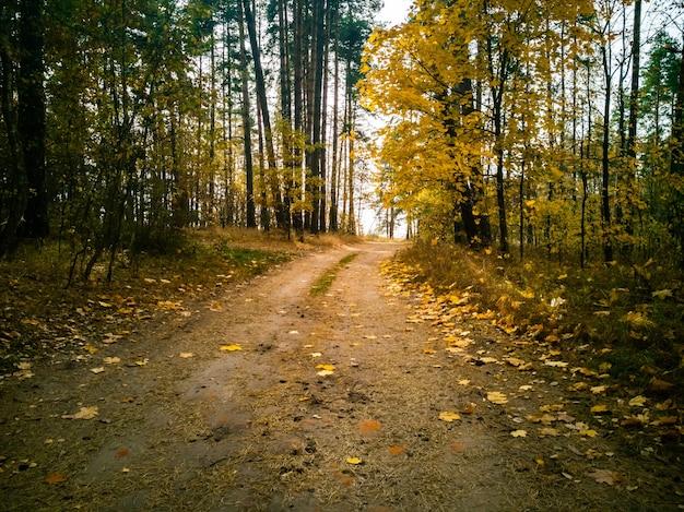 Bela paisagem de outono floresta no sol caído folhas de bordo amarelo deitado no chão sob a luz do sol