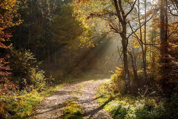 Bela paisagem de raios de sol em uma floresta com muitas árvores no outono