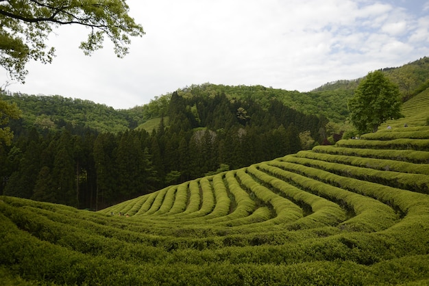 Bela paisagem de uma fazenda de chá verde em bosung durante o dia