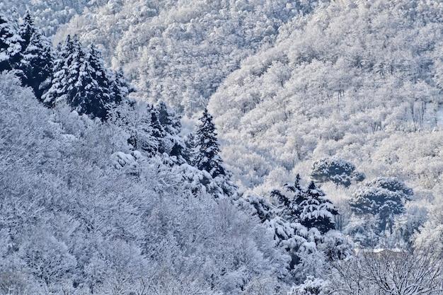 Bela paisagem de uma floresta com pinheiros cobertos de neve