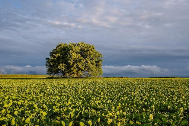 Bela paisagem de verão com vista para um carvalho solitário em um amplo campo ao pôr do sol