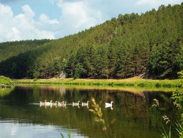 Bela paisagem de verão, gansos brancos flutuando no rio, margens e floresta refletidas na água,