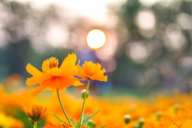Bela paisagem flores amarelas ao pôr do sol no verão