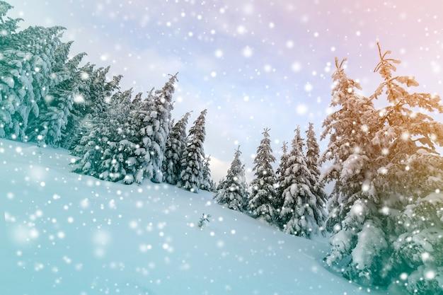 Bela paisagem montanhosa de inverno. árvores altas de abetos verdes escuros cobertas de neve nos picos das montanhas e no fundo do céu nublado.