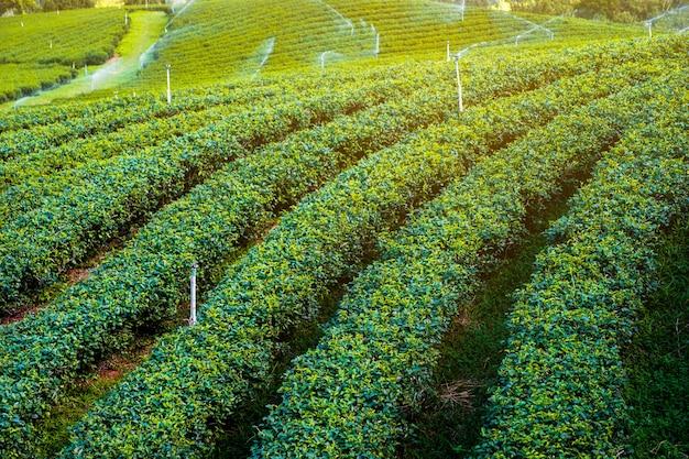 Bela paisagem plantação de chá cênica nas terras altas. doi mae salong, chiang rai, tailândia.