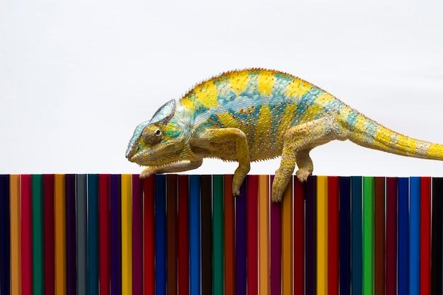 Bela pantera camaleão caminhando sobre cores de lápis