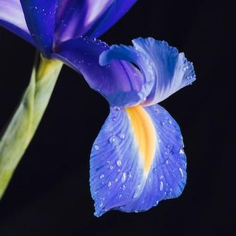 Bela pétala de flor azul fresca no orvalho