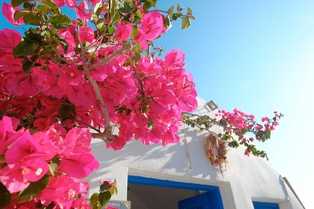 Bela planta buganvília com casa branca contra o céu azul na ilha de santorini