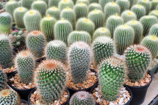 Bela planta cacto verde em vaso