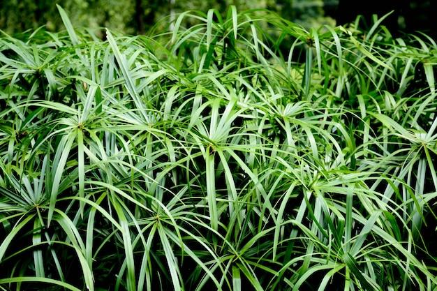 Bela planta de papiro na natureza