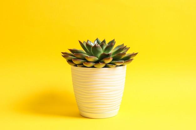 Bela planta suculenta na cor de fundo, espaço para texto