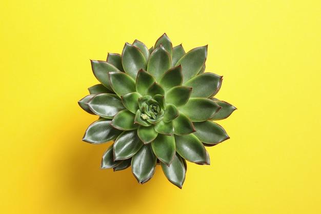 Bela planta suculenta na cor de fundo, vista superior