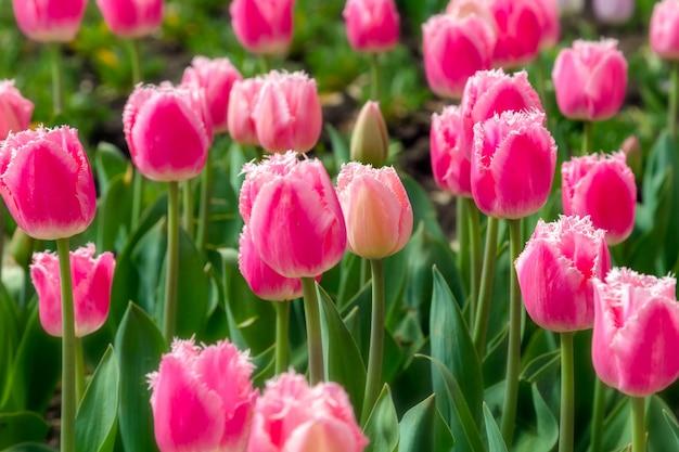 Bela plantação de campo de tulipa rosa