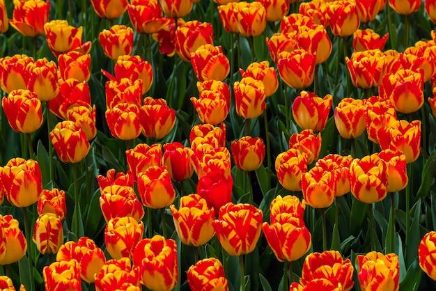 Bela plantação de campo de tulipas - jardim comercial de flores
