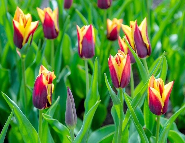 Bela plantação de campo de tulipas Foto Premium