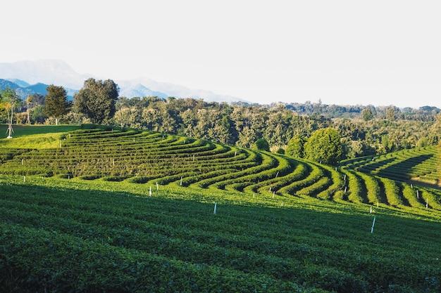 Bela plantação de chá verde pela manhã na plantação de chá de chouifong, província de chiang rai, tailândia.