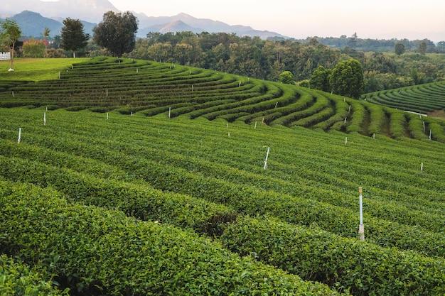 Bela plantação de chá verde pela manhã na plantação de chá de chouifong, província de chiang rai, tailândia. Foto Premium