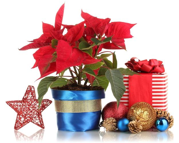 Bela poinsétia com bolas de natal e presentes isolados no branco