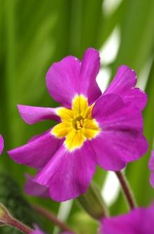 Bela prímula roxa em um jardim verde de perto