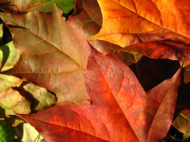 Bela queda de folhas coloridas, fundo outono