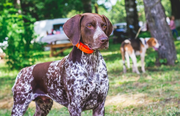 Bela raça de cachorro de ponta alemã de pêlo curto no parque