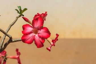 Bela rosa azálea flores tropicais flor