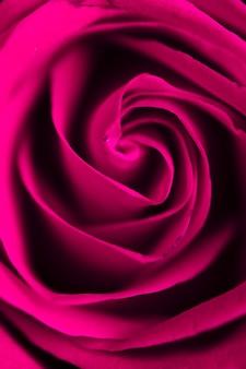 Bela rosa roxa closeup