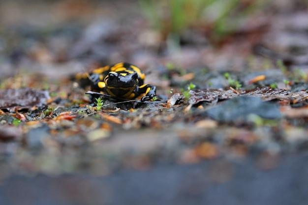 Bela salamandra selvagem no habitat natural