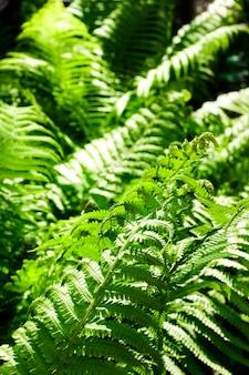 Bela samambaia verde deixa fundo natural