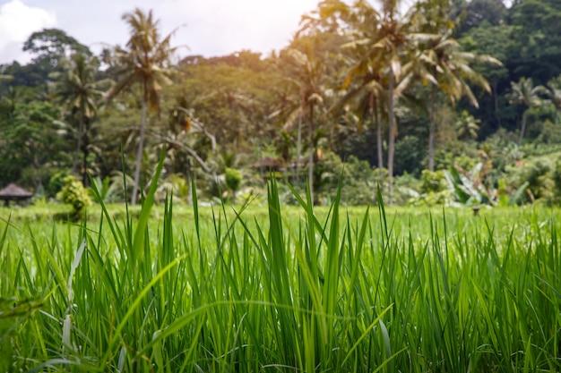 Bela selva e campos de arroz da ásia. conceito verde. grama à frente