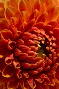 Bela textura de flor dália ensolarada cor de laranja close-up vista flor em fundo marrom