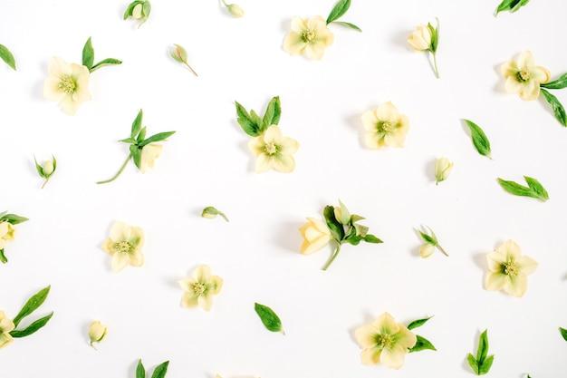 Bela textura de flor de heléboro amarelo em branco
