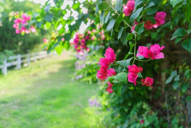 Bela vermelha bougainvillea glabra ou paperflower no jardim