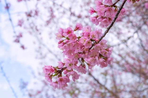 Bela vista cerejeira em flor, província de chiang rai, tailândia, foco suave,