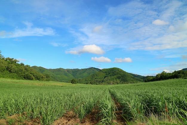 Bela vista de campos agrícolas com cana-de-açúcar nos canaviais com montanha