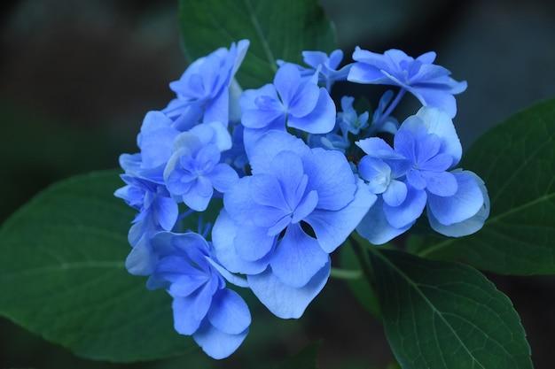 Bela vista de perto um arbusto de hortênsia azul claro em flor.