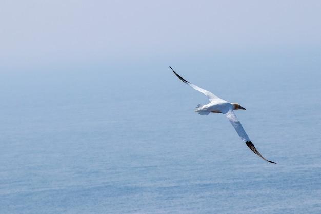 Bela vista de um gannet do norte voando sobre a água na ilha helgoland