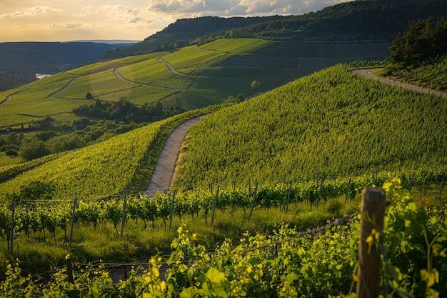 Bela vista de um vinhedo nas colinas verdes ao pôr do sol
