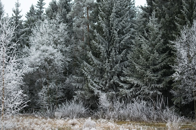 Bela vista de uma floresta de pinheiros coberta de geada em mysen, noruega