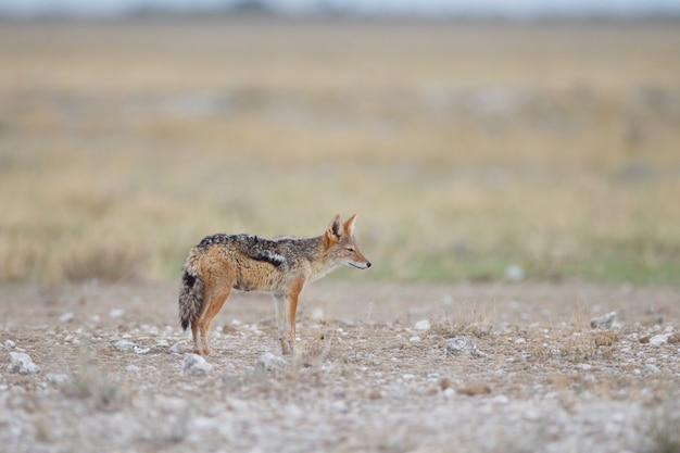 Bela vista de uma raposa de areia no meio do deserto